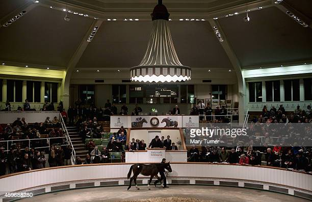 Lot Number 1103 walks around the sale ring with his stud hand at Tattersalls Auctioneers where the foal went on sale on November 28 2014 in Newmarket...