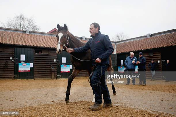 Lot Number 1113 an 8 month old bay colt is walked out by his stud hand at Tattersalls Auctioneers where the foal is one of four sired by the...
