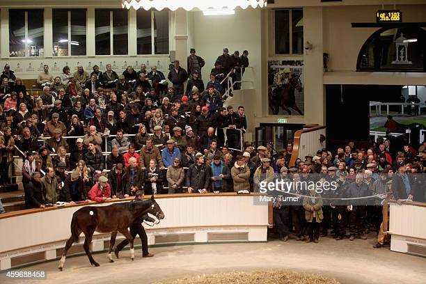 Lot Number 1113 fails to impress as he walks around the sale ring with his stud hand at Tattersalls Auctioneers where the foal went on sale on...