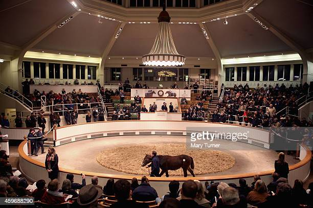 Lot Number 1113 walks around the sale ring with his stud hand at Tattersalls Auctioneers where the foal went on sale on November 28 2014 in Newmarket...