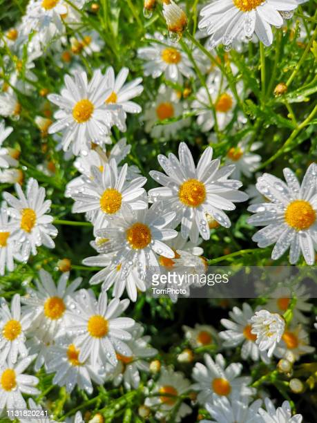 lot of daisy flowers with water drops - キク科 ストックフォトと画像