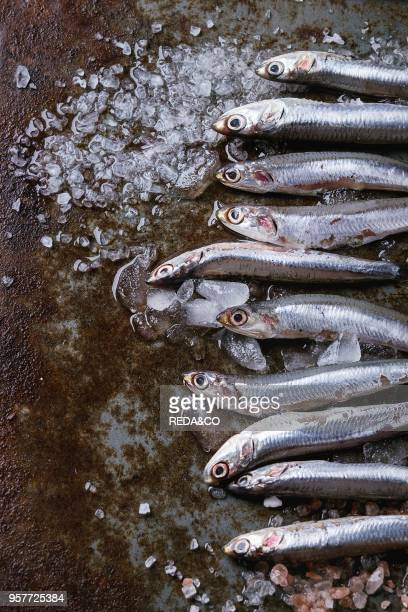 Lot of raw fresh anchovies fishes on crushed ice with pink and sea salt over old dark metal background Top view Sea food background theme with space...