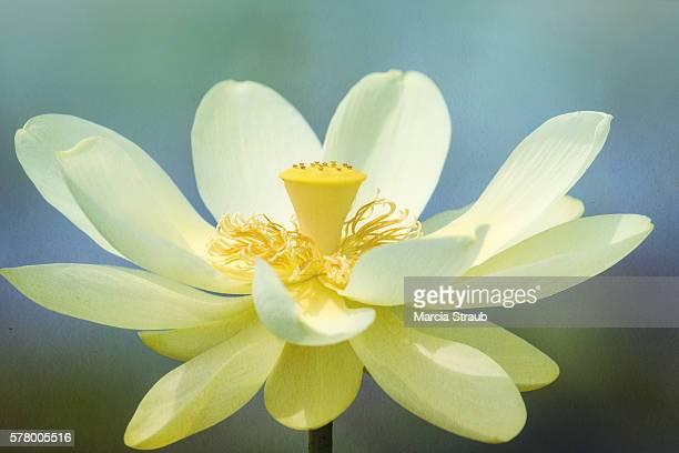 Lotis Flower