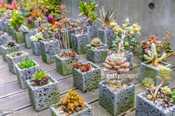 lots of cactus in the flower pot - sungjin kim stock pictures, royalty-free photos & images