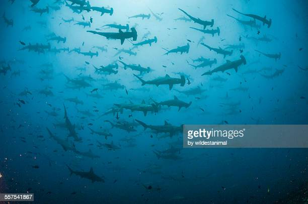 Lots Of Hammerheads