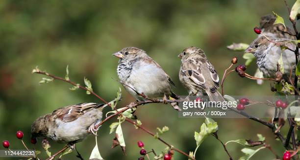 lots of sparrows - hawk nest stock photos and pictures