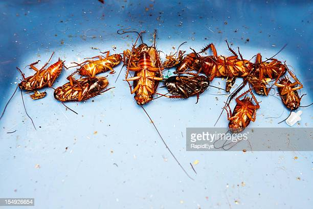 lots of very dead cockroaches - pest stock photos and pictures