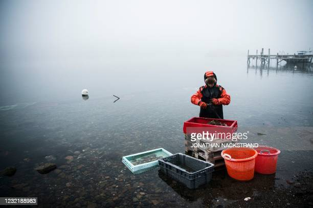 Lotta Klemming, a professional oyster diver, cleans oysters she collected on her earlier dive, near her familys company in Grebbestad in Vastra...