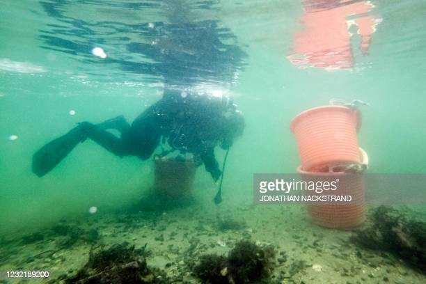 Lotta Klemming, a professional oyster diver, collects oysters during a dive, near her familys company in Grebbestad in Vastra Gotaland county on...
