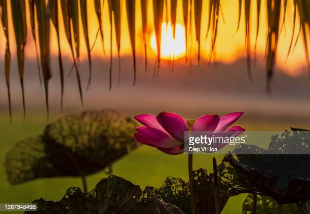 lotus and sun - insignia stock pictures, royalty-free photos & images