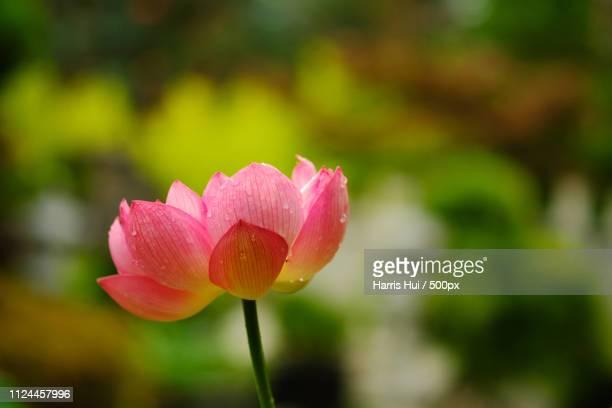 lotus as symbol buddha buddhist temple xp8166 - lily harris photos et images de collection
