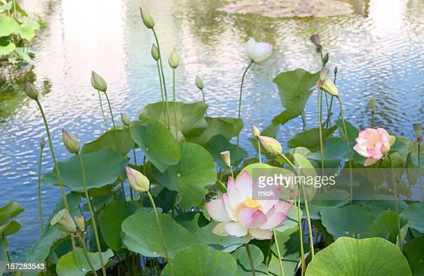 Lotus Blossom III