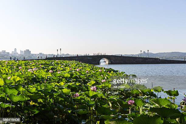 lotus field against the broken bridge on the west lake,hangzhou,china - west lake hangzhou stock pictures, royalty-free photos & images