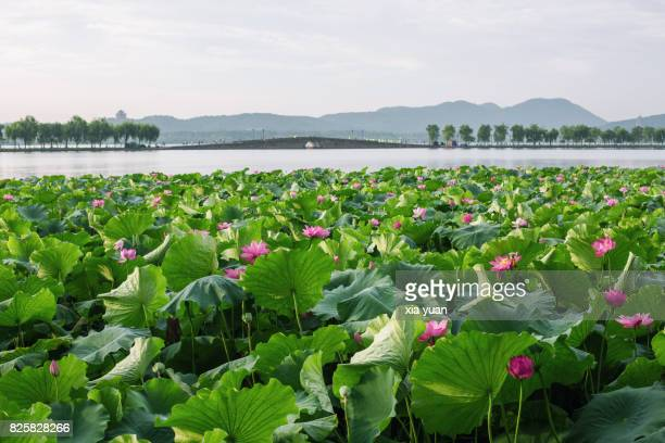 lotus field on the west lake in summer,hangzhou,china - west lake hangzhou stock pictures, royalty-free photos & images