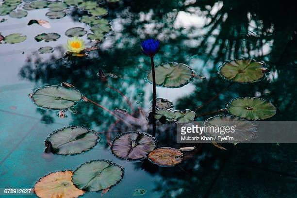 lotus floating on pond - naruto stock photos and pictures