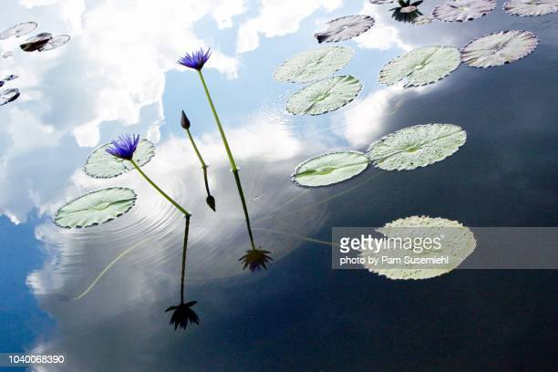 lotus flower and cloud reflections in garden pond - pianta acquatica foto e immagini stock