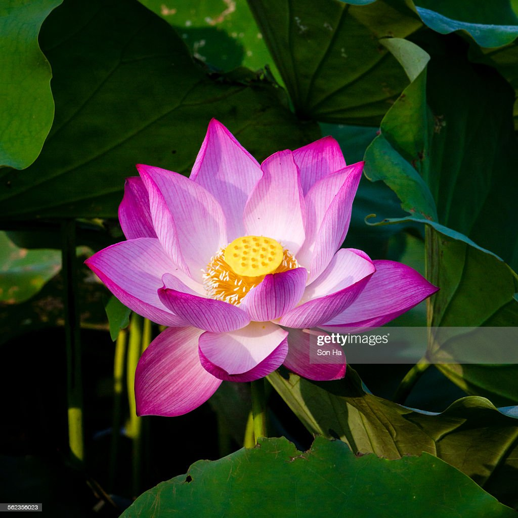 Lotus Flower And Lotus Flower Plants Stock Photo Getty Images