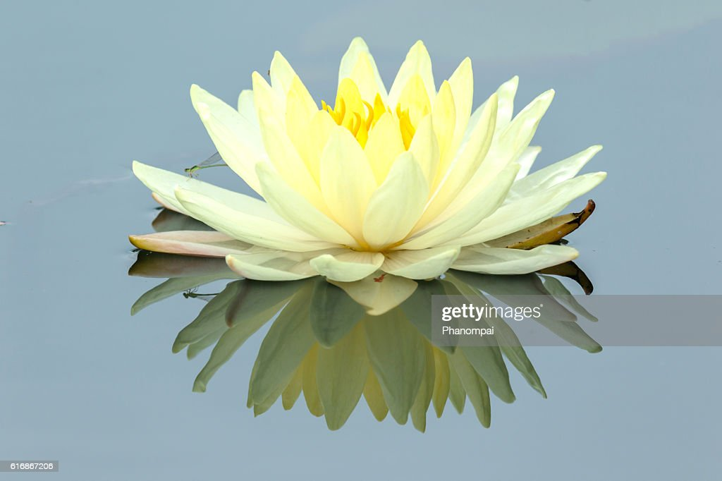 Lotus flower and Lotus flower plants : Stock Photo