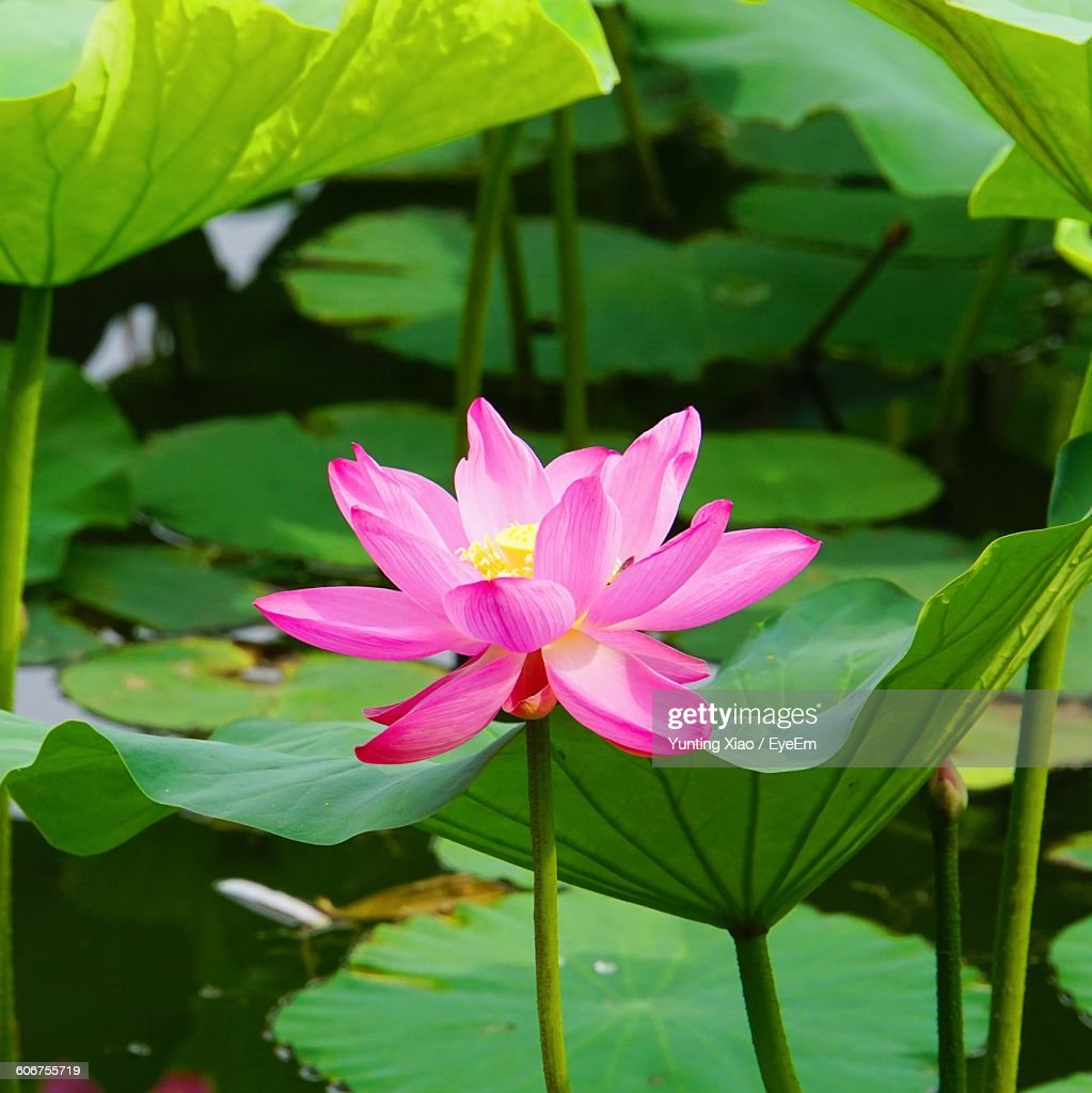 Lotus flower blooming in pond stock photo getty images lotus flower blooming in pond stock photo izmirmasajfo