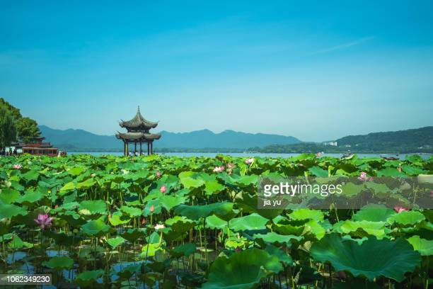 lotus flower blooming in the west lake - west lake hangzhou stock pictures, royalty-free photos & images