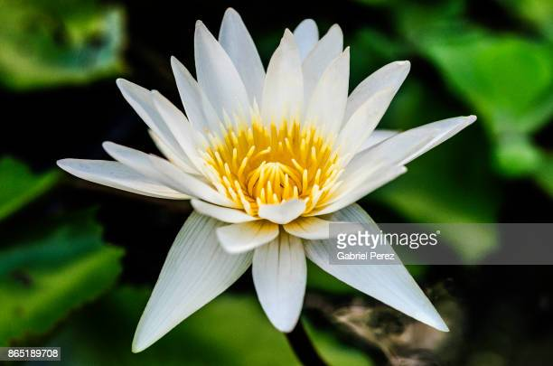 A Lotus Flower From Thailand