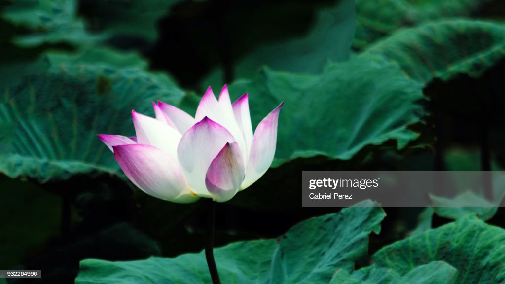A lotus flower from thailand stock photo getty images a lotus flower from thailand stock photo mightylinksfo
