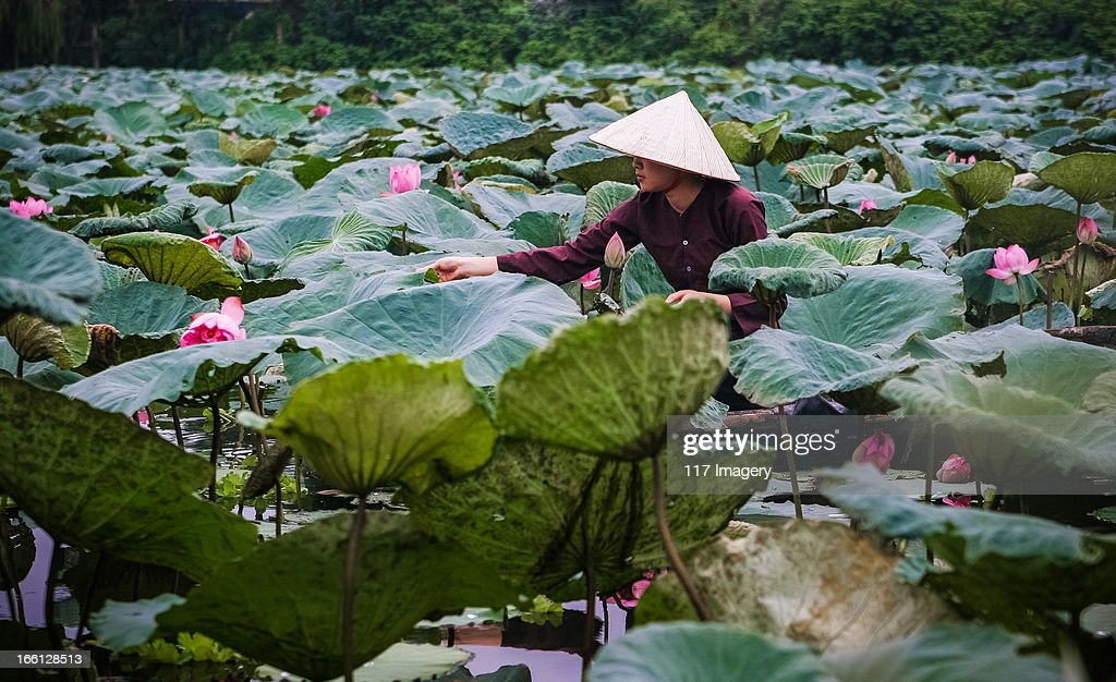 Lotus flower harvesting hanoi vietnam stock photo getty images lotus flower harvesting hanoi vietnam stock photo mightylinksfo