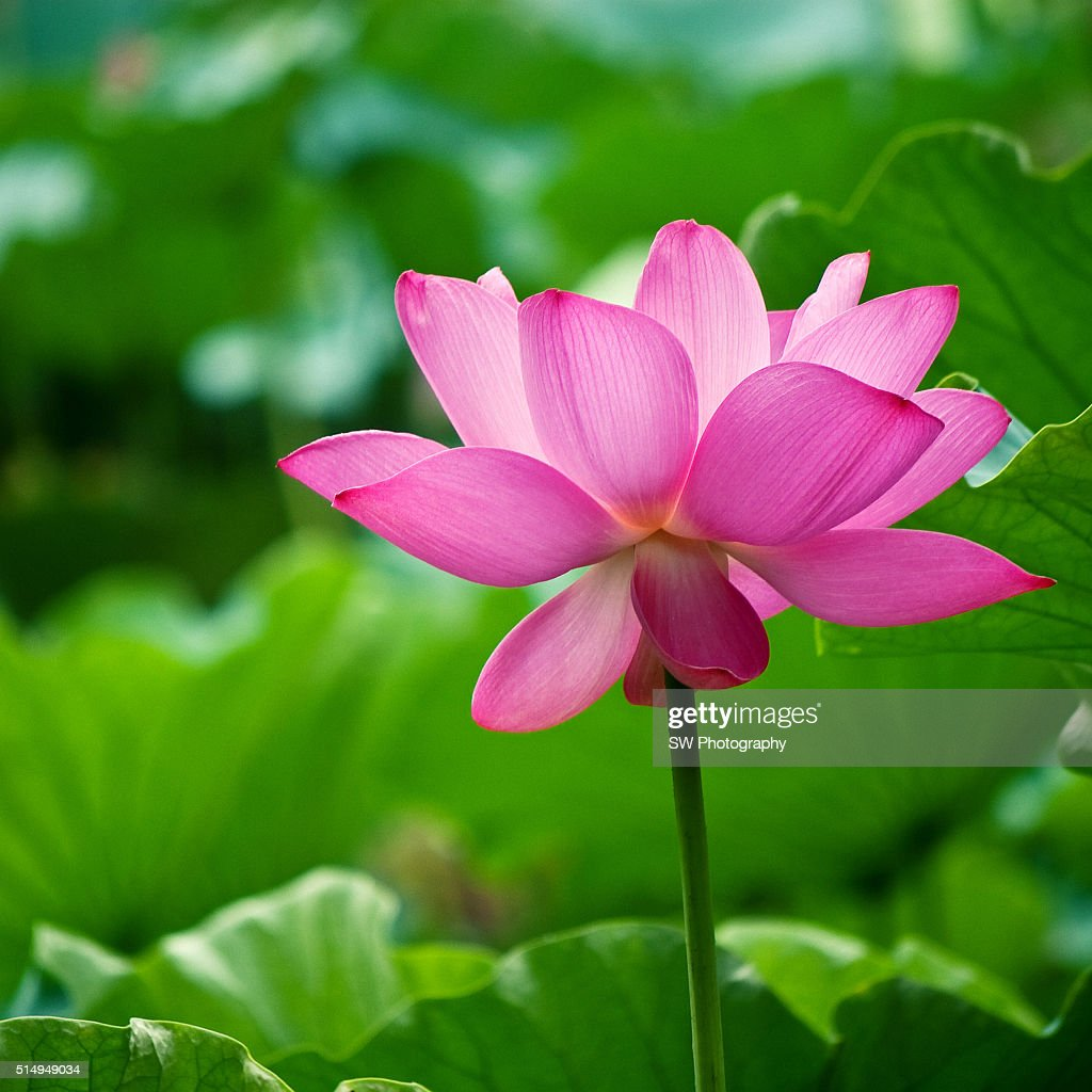 Lotus Flower In Chengdu Sichuan China Stock Photo Getty Images