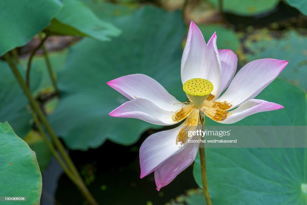 Lotus flower in pond stock photo getty images lotus flower in pond stock photo mightylinksfo