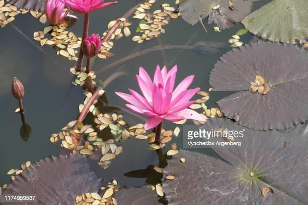 lotus flower in sukhothai lake, thailand - argenberg bildbanksfoton och bilder