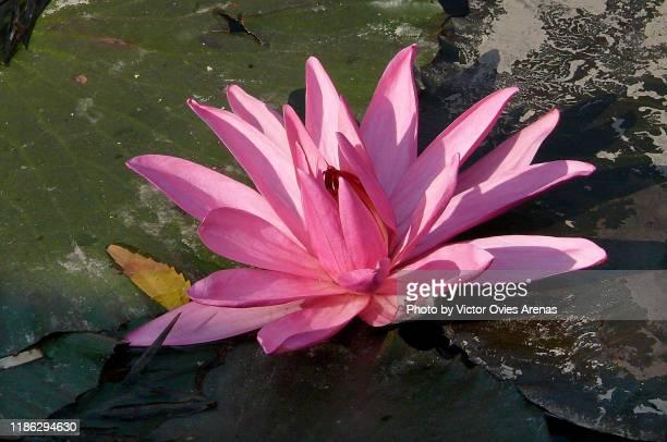 lotus flower in the buddhist holy city of sarnath, uttar pradesh, india - victor ovies fotografías e imágenes de stock