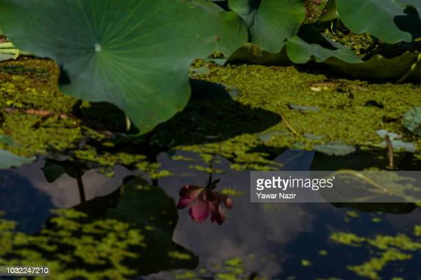 Lotus flower is reflected on the waters of Dal lake on September 12 2018 in Srinagar the summer capital of Indian administered Kashmir India Kashmir...