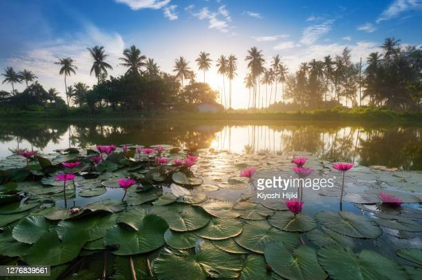 lotus flower lake in tropical rainforest - aquatic organism stock pictures, royalty-free photos & images