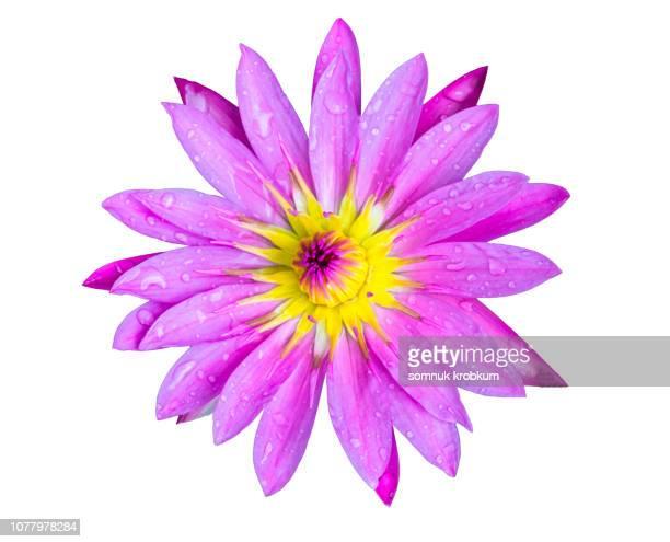 lotus flower macrophotography on white background - fiore di loto foto e immagini stock