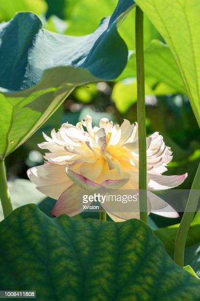 lotus flower new species blooming