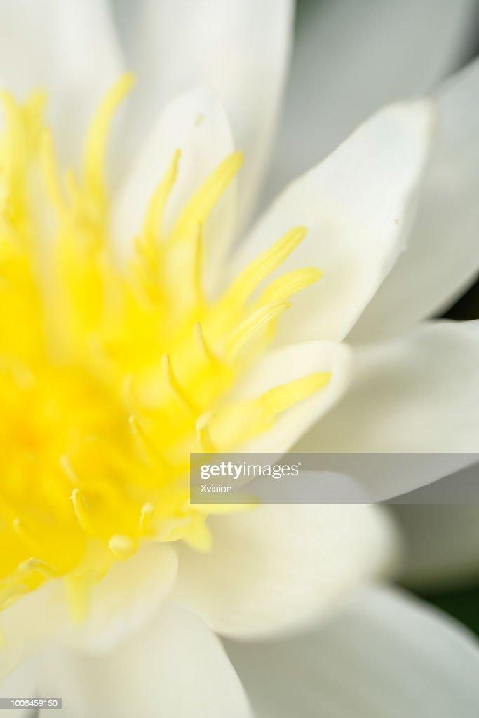 lotus flower new species blooming : Stock Photo