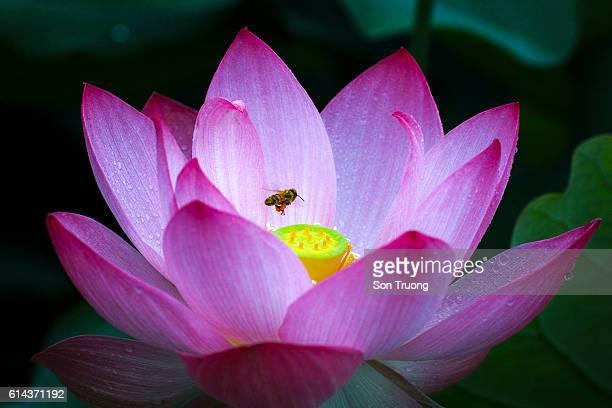 Lotus flower on the lake