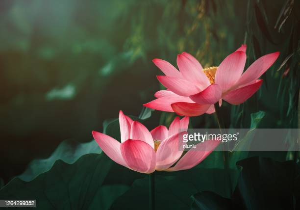 lotus flower - spirituality stock pictures, royalty-free photos & images