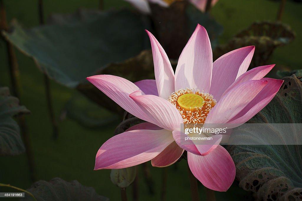 Flor de loto : Foto de stock