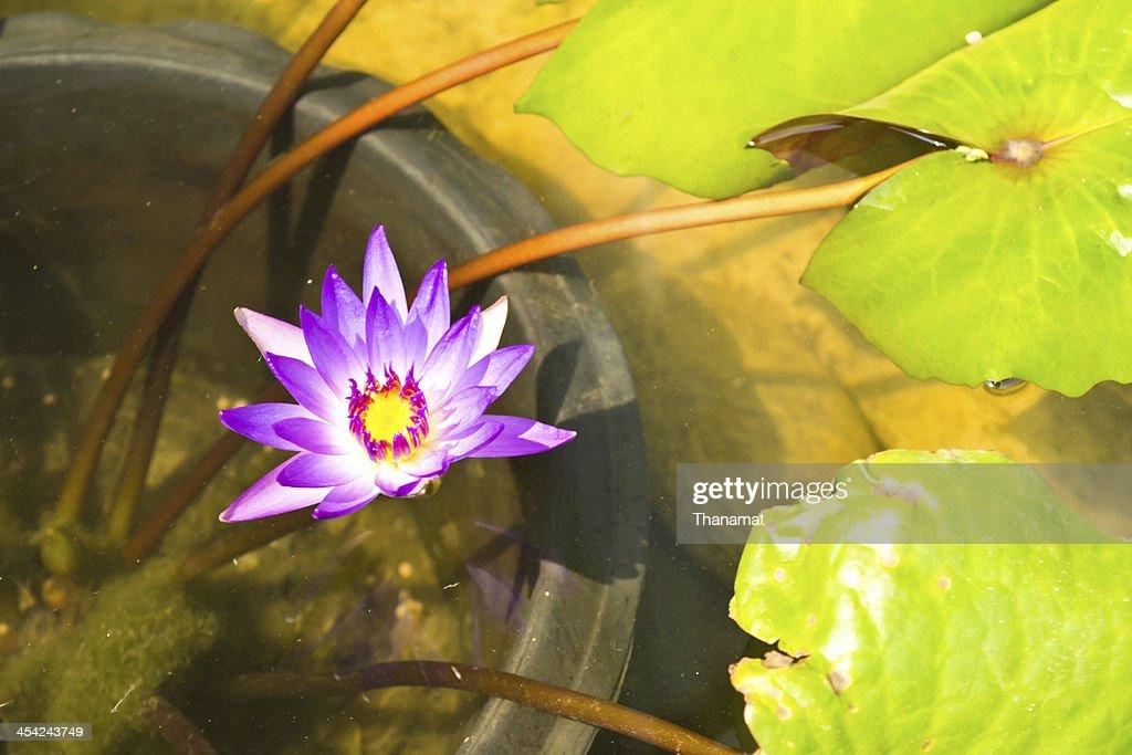 Lotus flower : Stock Photo