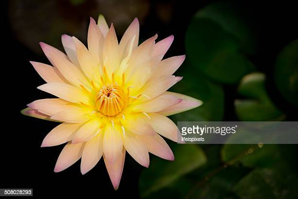 lotus flower - lifeispixels stock pictures, royalty-free photos & images