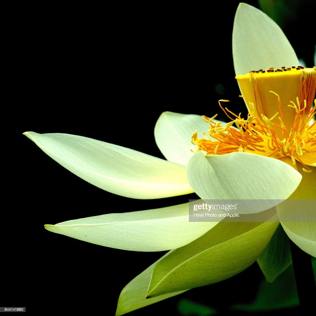 Lotus Flower Stock Photo Getty Images