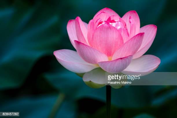 lotus flower - fiore di loto foto e immagini stock