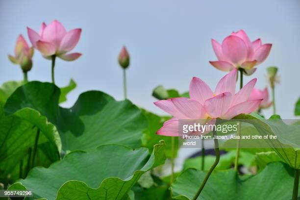 lotus flower - 八月 ストックフォトと画像