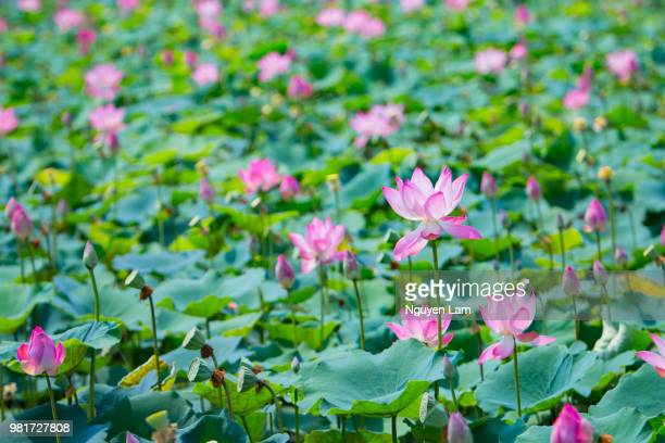 Free Lotus Flower Images Stock Photos And Pictures