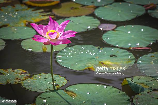 Lotus flower plant in Singapore