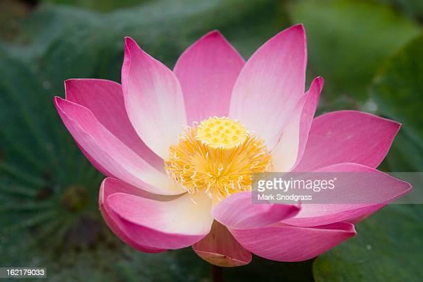 Lotus Flower - purple