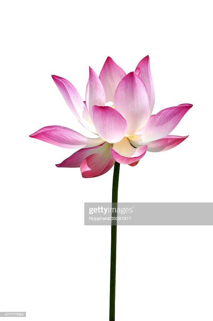 Lotus Flower Thailand Stock Photo Getty Images