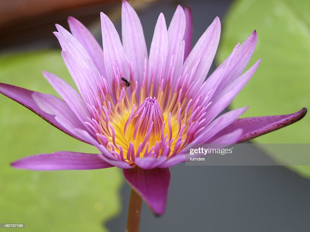 Lotus Flower Water Lily Background Stock Photo Getty Images