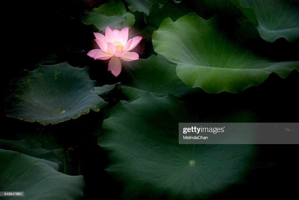 Lotus flower with with leaves stock photo getty images lotus flower with with leaves stock photo mightylinksfo